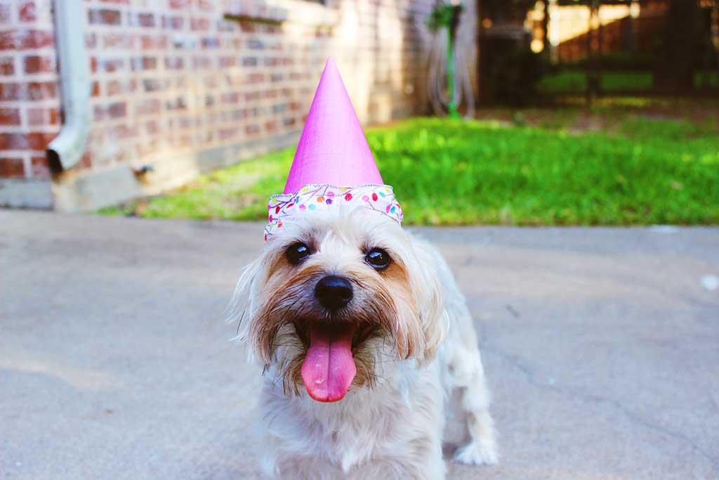 Small white dog wearing birthday hat