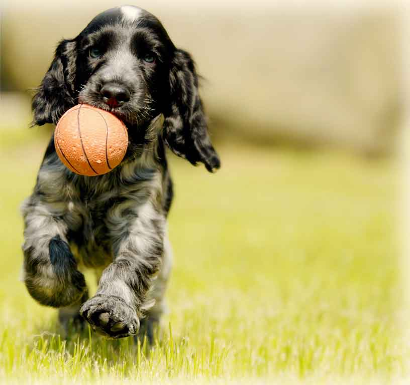 Dog running in grass with a ball