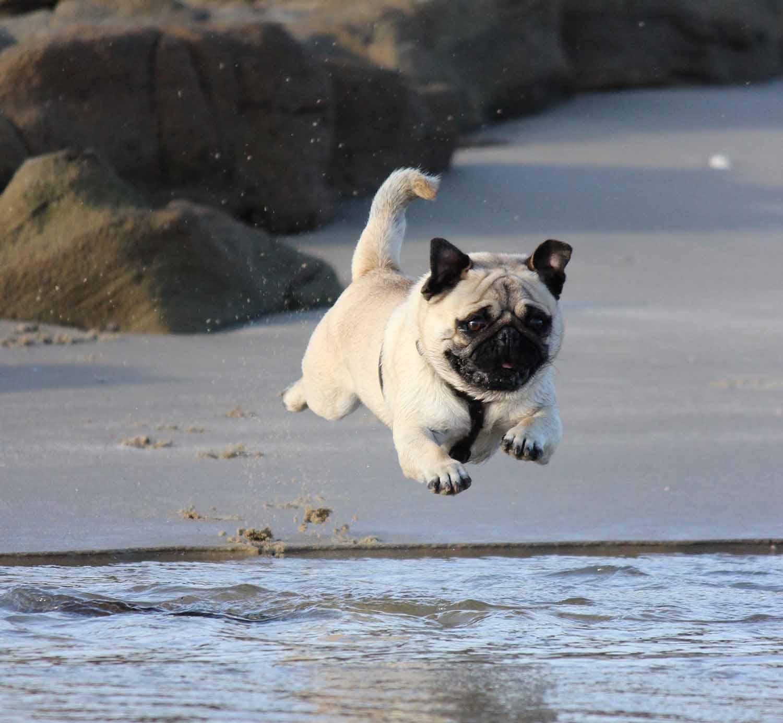 Pug running on the beach