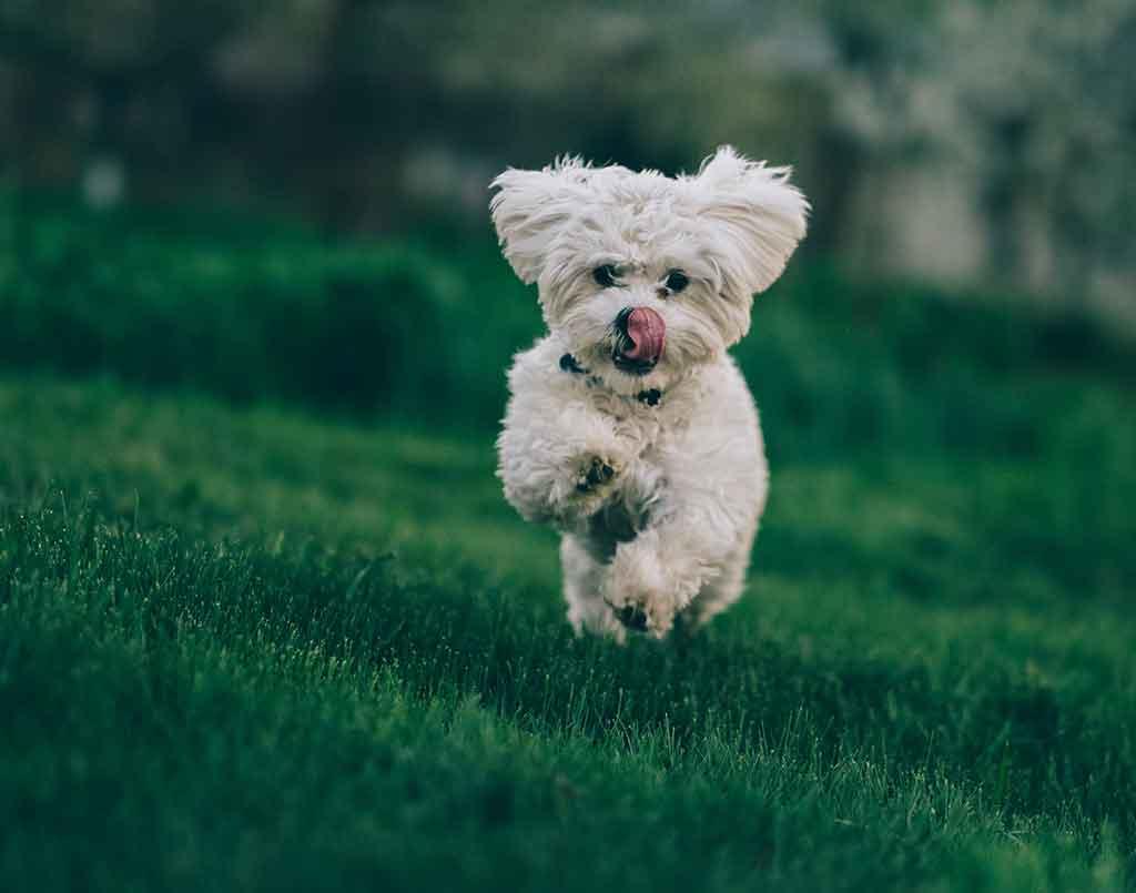 White dog running in the grass