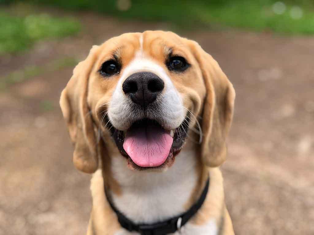 Dog smiling into camera