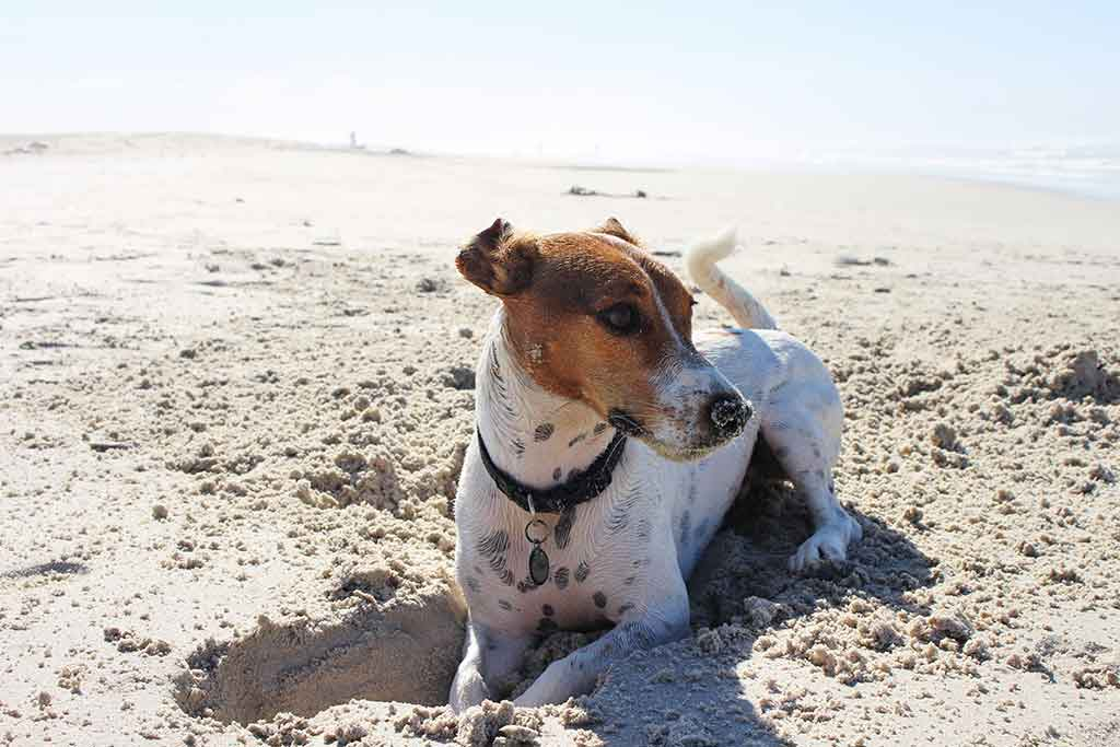 Dog digging a whole in the beach