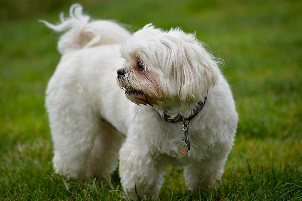 White dog standing in green grass