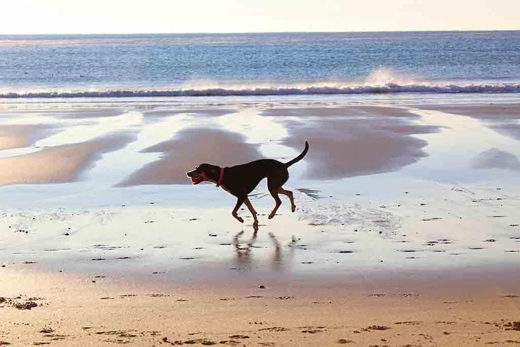 Dog running along the beach
