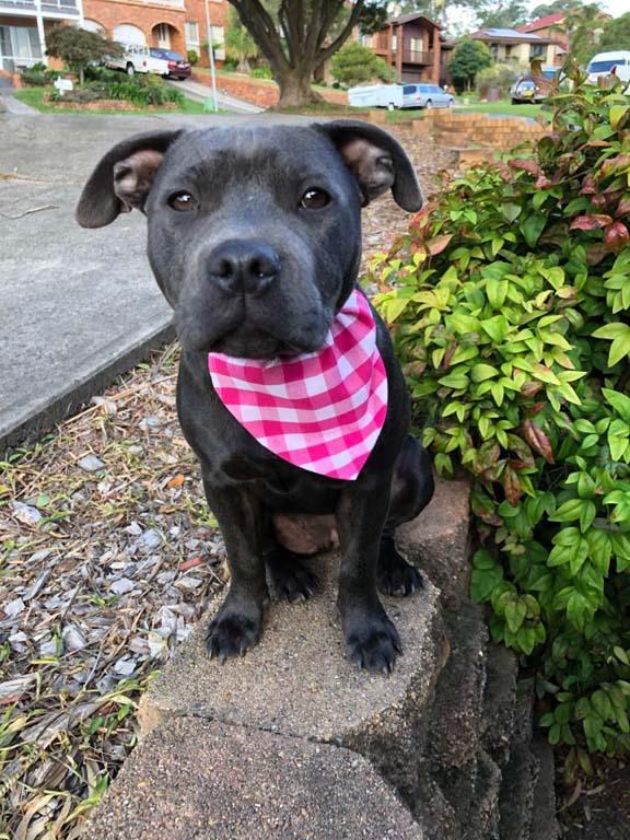 Dog wearing Bandana in Pink Plaid design