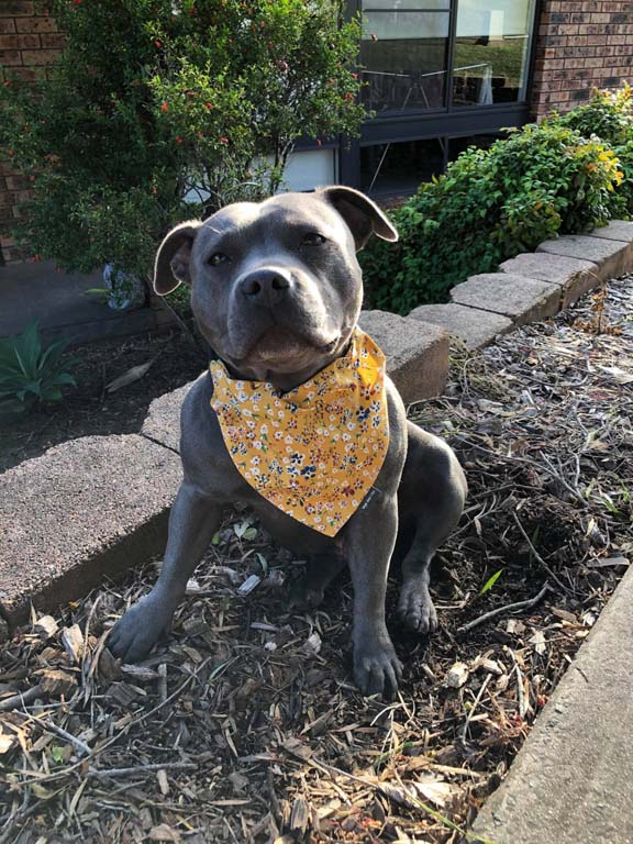 Dog wearing Bandana in Floral Mustard design
