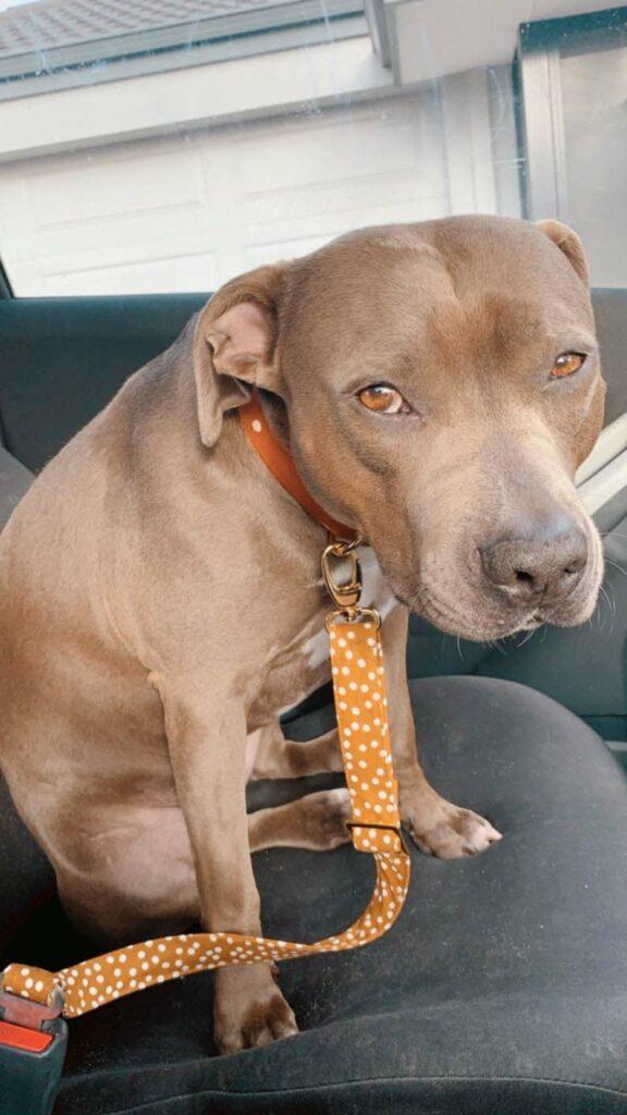 Dog wearing car seat belt