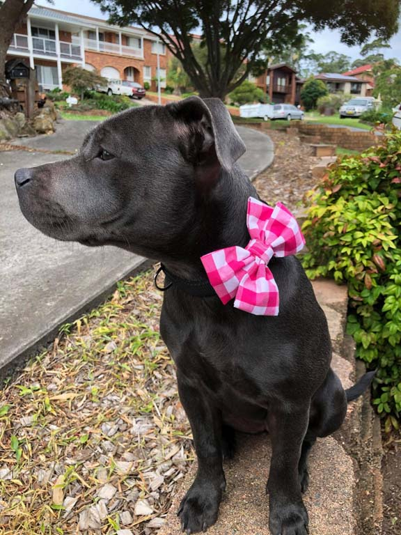 Dog posing with pink dog bow