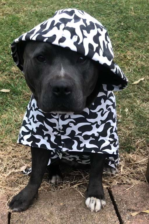 Dog wearing a day coat from WiggleWagznKaz