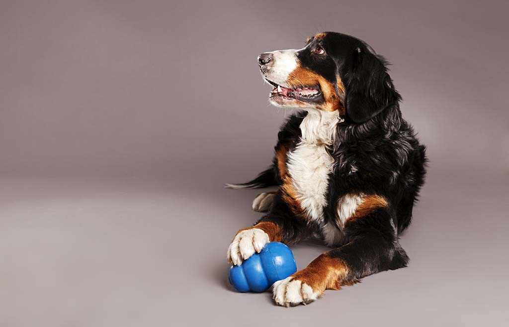 Dog posing with blue kong toy