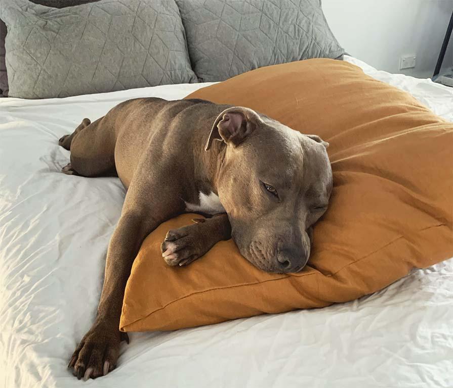 Dog sleeping on dog pillow