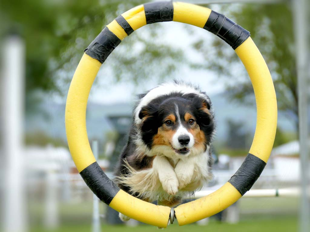 dog jumping through agility equipment