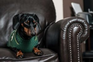 Dachshund sitting on leather chair