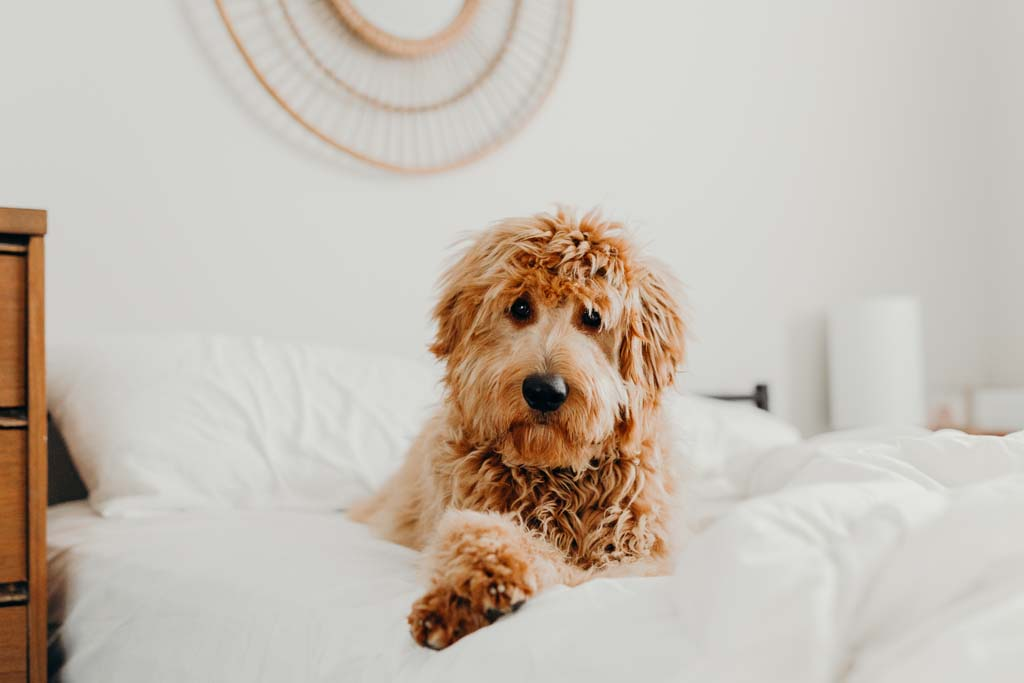 Dog relaxing on bed