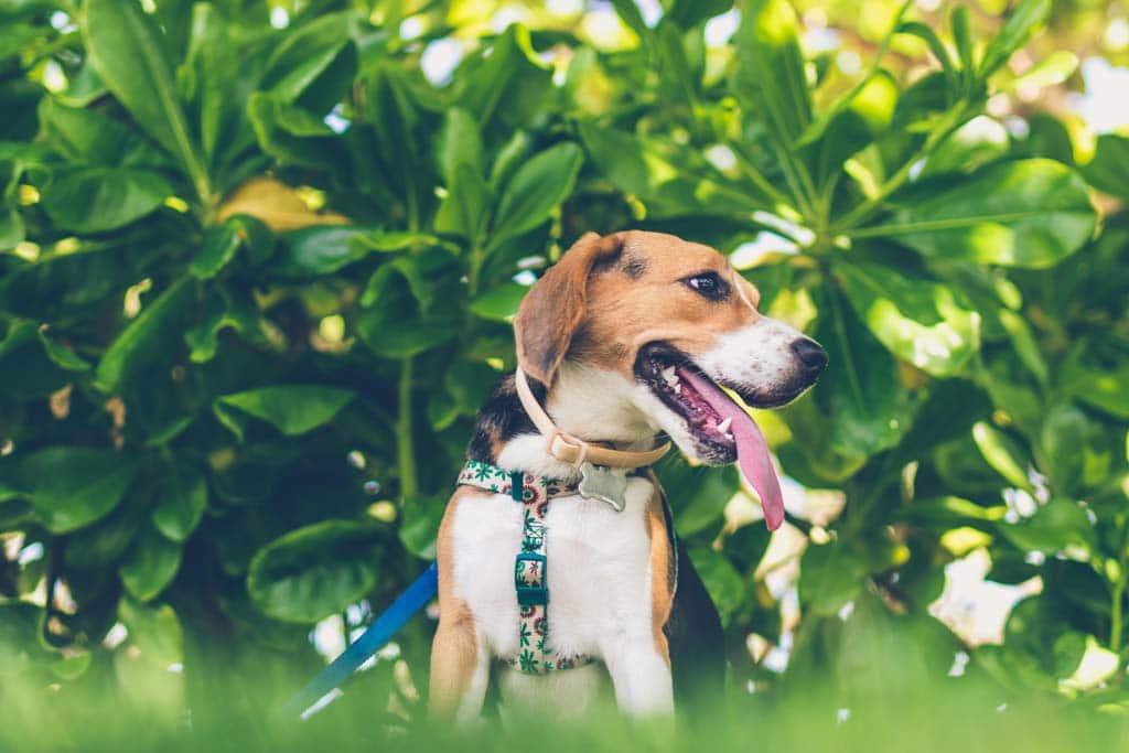 Beagle in nature