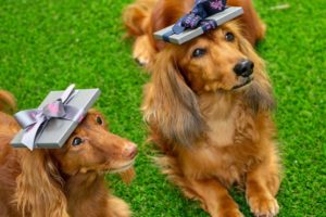 Two dachshunds balancing gifts on their heads