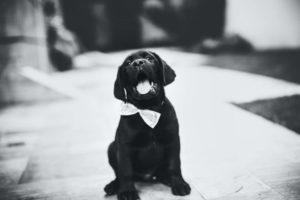 Puppy wearing a bow tie