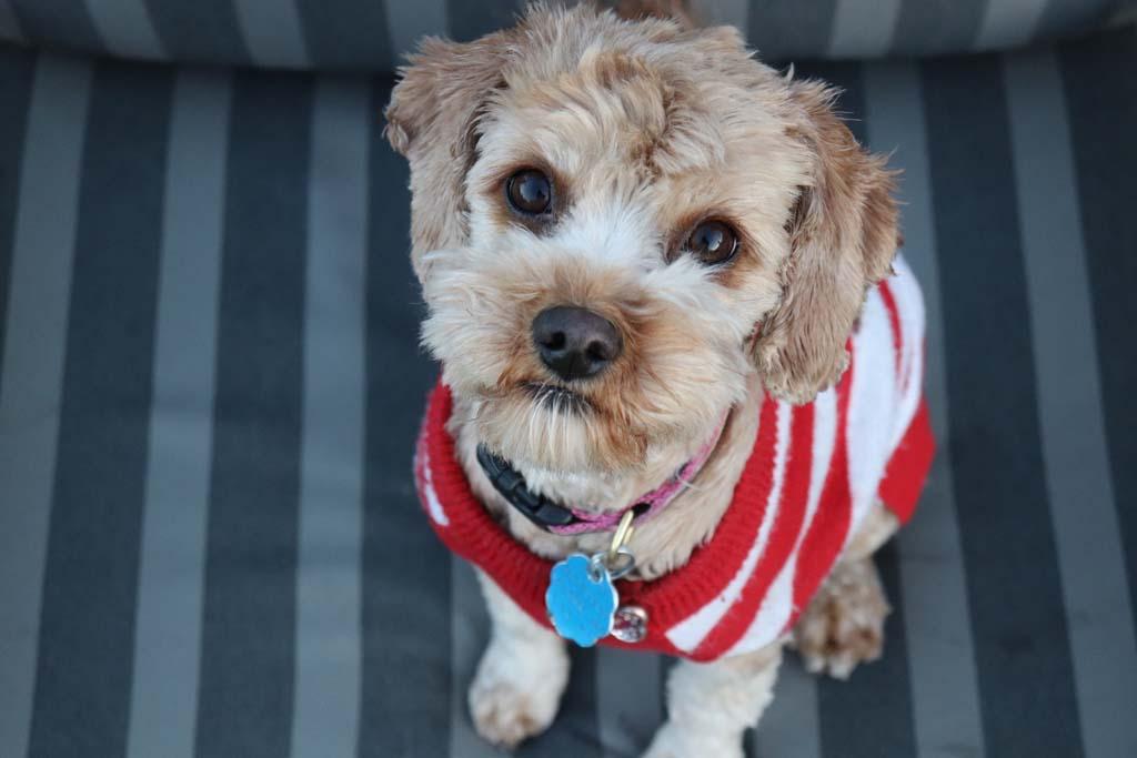 dog wearing a dog tag