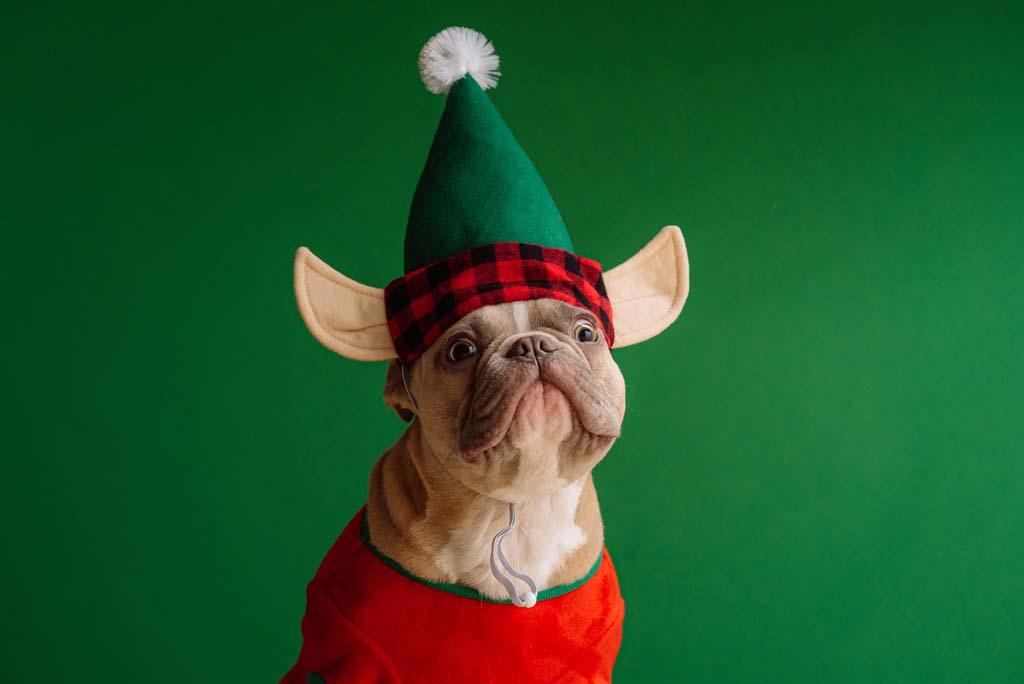Dog posing for christmas