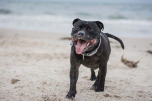 Staffy running on beach
