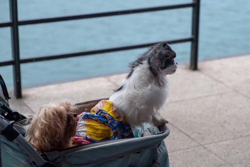 Dogs sitting in a dog pram