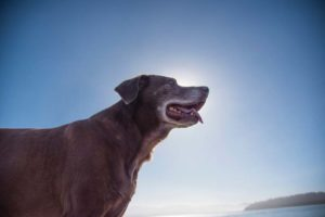 Mature dog with sky and sun in the backgournd