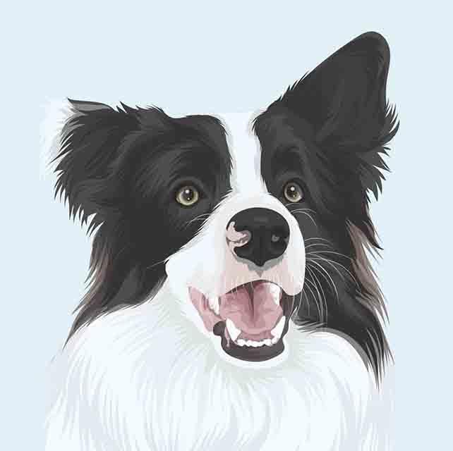 Custom Border Collie Pet Portrait
